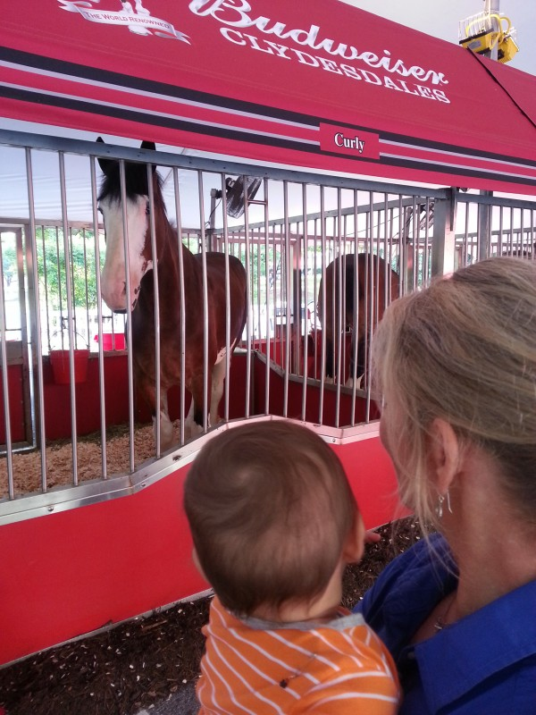 Checking out the Budweiser horses